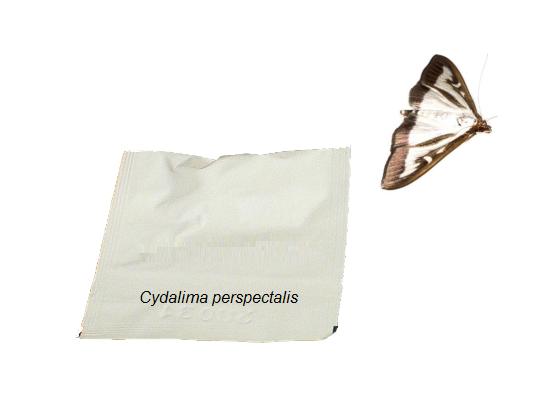 PHEROMONE DISPENSER - box three moth (cydalima perspectalis)